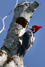 Red Woodpecker On A Tree