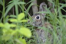 Rabbit In The Grass, Wild Rabbit, Bunny In The Wild, Wildlife