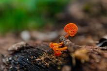 Mushroom Pores. Bright Orange Mushroom On Dry Tree Trunk. Beautiful Little Fungus. Nature Details.