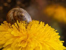 Dandelion Yellow Close-up Macro Photo. Summer Background.