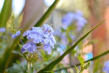 Blue Jasmine, Also Known As Malacara, Celestina, Isabel Segunda, Blue Plumbago, Cape Plumbago And Sky Jasmine, A Herbaceous Plant Of The Plumbaginaceae Family.