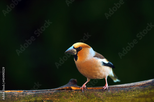 Fototapeta The hawfinch (Coccothraustes coccothraustes) sitting on the branch