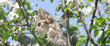 A Fluffy Cat On A Tree, A Cat On A Blooming Apple Tree Against A Blue Sky, A Fluffy Green-eyed Cat