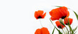 Red wild poppy flowers in a meadow in spring, on a white background. selective focus. banner