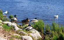 Gulls And Ducks On The Rocks On The River Bank. Birds On The Sunny Beach Near The Water.