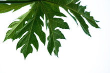 Papaya Leaf On White Background