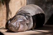 The Pygmy Hippo Is Resting On The Ground