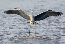 Grey Heron Stands Water With Wide Open Wings