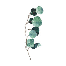 Watercolor Eucalyptus Green Leaf Isolated On White Background. Hand Drawn Silver Dollar Eucalyptus Branch Greenery. Floral Foliage Herb Botanical Illustration