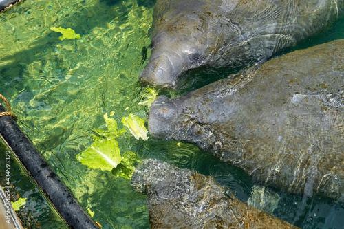 Fototapeta Three West Indian manatees (Trichechus manatus) eating lettuce -  Ellie Schiller