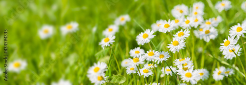 Fotografiet panoramic banner with daisies in grass