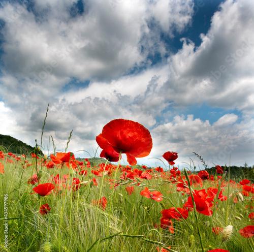 poppy field with blue sky #434597986