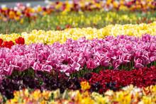 Tulip - Tulip Fields - Tulips Holland - Tulip Netherlands - Tulips