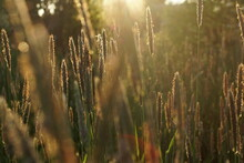 Grass Seeds At Sunset Nature