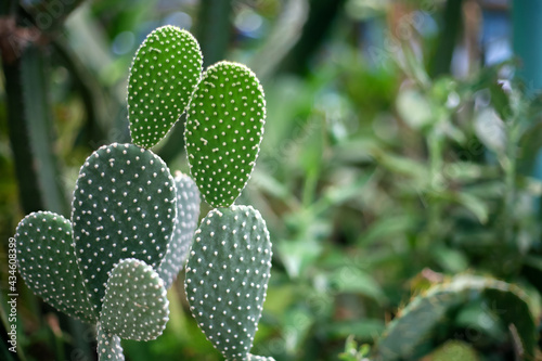 Fotografia Opuntia is a plant of the Cactaceae family