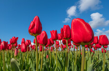 Red Tulips Against Blue Sky In The The Dune And Bulb Region In The Netherlands