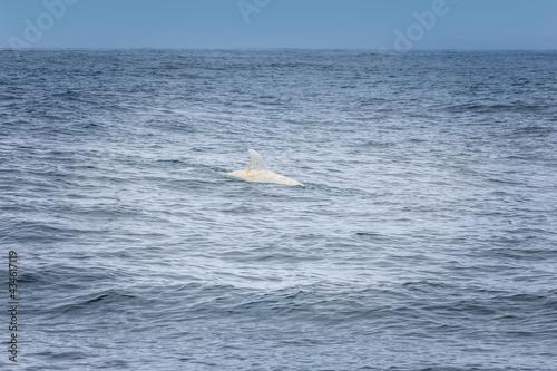 Canvastavla Rare albino dolphin