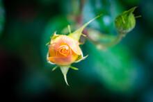 Single Orange Rosebud In The Garden, Isolated Flower, Blurred Background