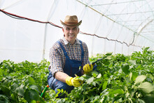 Plants Are Truly Fascinating Organisms.Middle-aged Man Works In A Greenhouse