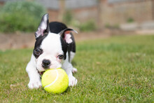 Boston Terrier Puppy Lying On The Grass Chewing A Tennis Ball Looking At The Camera. There Is Copy Space