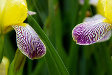 Close-up Of A Flower Of Bearded Iris .Yellow And Violet Iris Flowers Are Growing In A Garden.