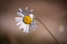 Oxeye Daisy In Autumn On Brown Background