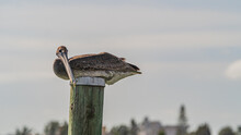 Brown Pelican Roosting On Top Of A Wooden Dock Pile Against Cloudy Sky Close Up