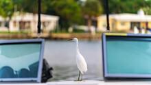 Snowy Egret Standing On Boat Next To Intercoastal Waterway In Florida, U.S.A.