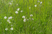 Grass Quickly Going To Seed With  Dandelion Seed Heads (tufts) In Spring