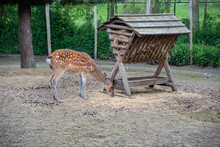 Deer Eats Grass From The Feeder In The Reserve. Caring For Wild Animals