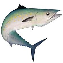 Spanish Mackerel Full Color