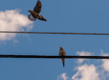A Mourning Dove (zenaida Macroura) Flies Away From A Telephone Wire, While Another Remains Perched. Space For Copy