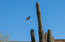 A Mourning Dove Flies Past A Saguaro Cactus In A Residential Neighborhood.