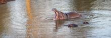 Common Hippopotamus [hippopotamus Amphibius] Dominantly Displaying Tusks While Yawning In A Lake In Africa
