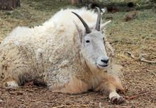 Resting Mountain Goat