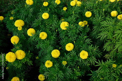 Decorate botany yellow flower blooming in garden detail abstract Poster Mural XXL