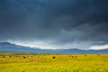 Black Cattle Grazing In A Expansive Field Filled With Grasses And Flowers Under Stormy Skies In The San Luis Valley Of Colorado.