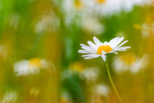 Oxeye Daisy Flower And A Blurry Backgrounds