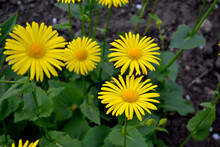 Doronicum. Yellow Daisy Flower. Chamomile. Perennial Flowering Plant. Beautiful Flower Abstract Background Of Nature. Summer Landscape