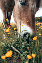 A Horse Is Eating Grass In Wild Nature. Perfect For Horse Lovers And Horse Owners