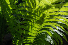 Close-up Of Fern Leaves In Sunlight. Nature Background.