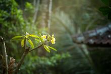 Yellow Frangipani Flowers Glowing In Sunrise Light After A Fresh Rain In Bali.