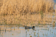 An American Coot, With Red Eyes, Dives For Food In The Lake. With Its Reflection On The Surface