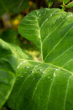 Big Green Elephant Ear Leaf In A Lush Forest Of Amazing Sunlight With Water Droplets After A Fresh Rain.