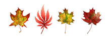 Maple Leaf Autumn Set. Watercolor Illustration. Fall Season Bright Foliage Collection. Vibrant Color Autumn Maple Leaves Elemnets. On White Background. Red And Yellow Leaf Natural Set