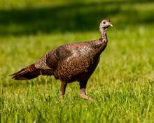 Wild Turkey In The Field