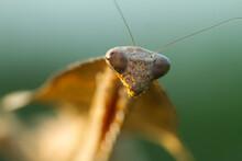 Close-Up Portrait Of A Dead Leaf Mantis, Indonesia