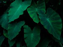 Taro Plant (Colocasia Esculenta) In The Forest, Green Leaves