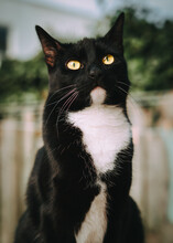Portrait Of A Black And White Tuxedo Cat Sitting In The Garden Looking Up