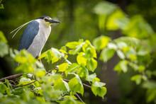 Night Heron In Spring Leaves